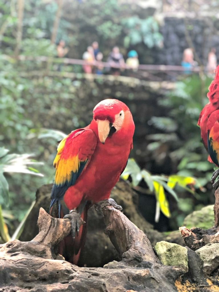 Mexican Macaw